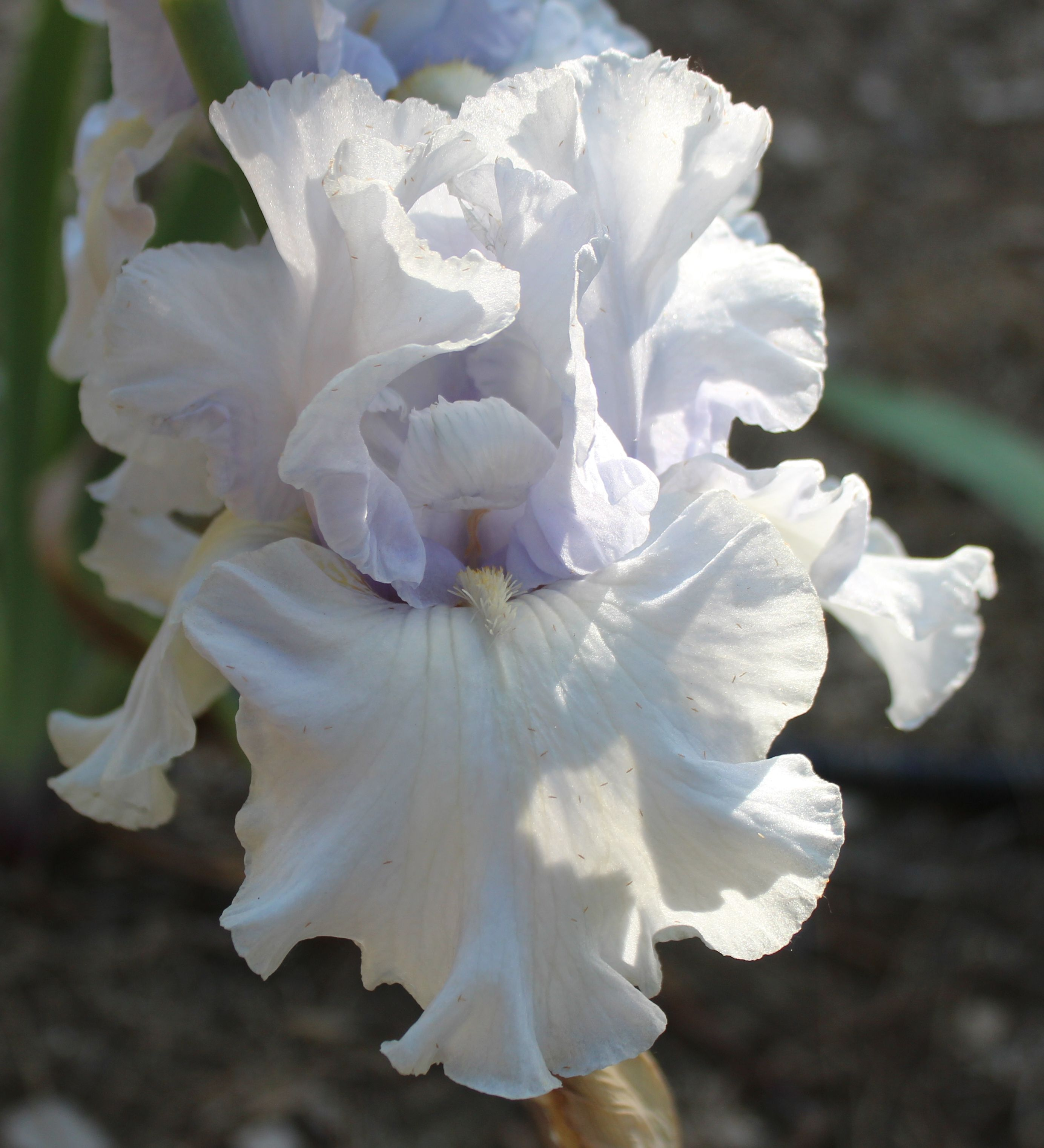 TB Iris germanica 'Tinted Crystal' (Hager, 1987)