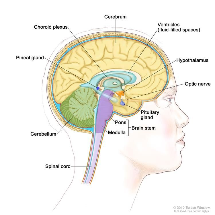 Drawing Of The Inside Of The Brain Showing Ventricles Fluid Filled Spaces Choroid Plexus Hypothalamus Pineal Gl Pineal Gland Pituitary Gland Brain Diagram