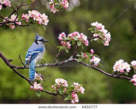 Shutterstock Photo I Like The Cherry Tree Blossoms Blue Jay Blue Jay Bird Blossom Trees