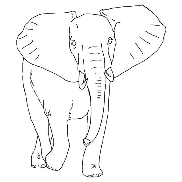 African Elephant, : Thirsty African Elephant Coloring ...