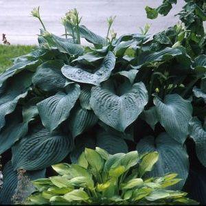 MAMMOTH BLUE ANGEL~HOSTA~PERENNIAL SHADE PLANT,THICK,SLUG RESISTANT LEAVES,HUGE!