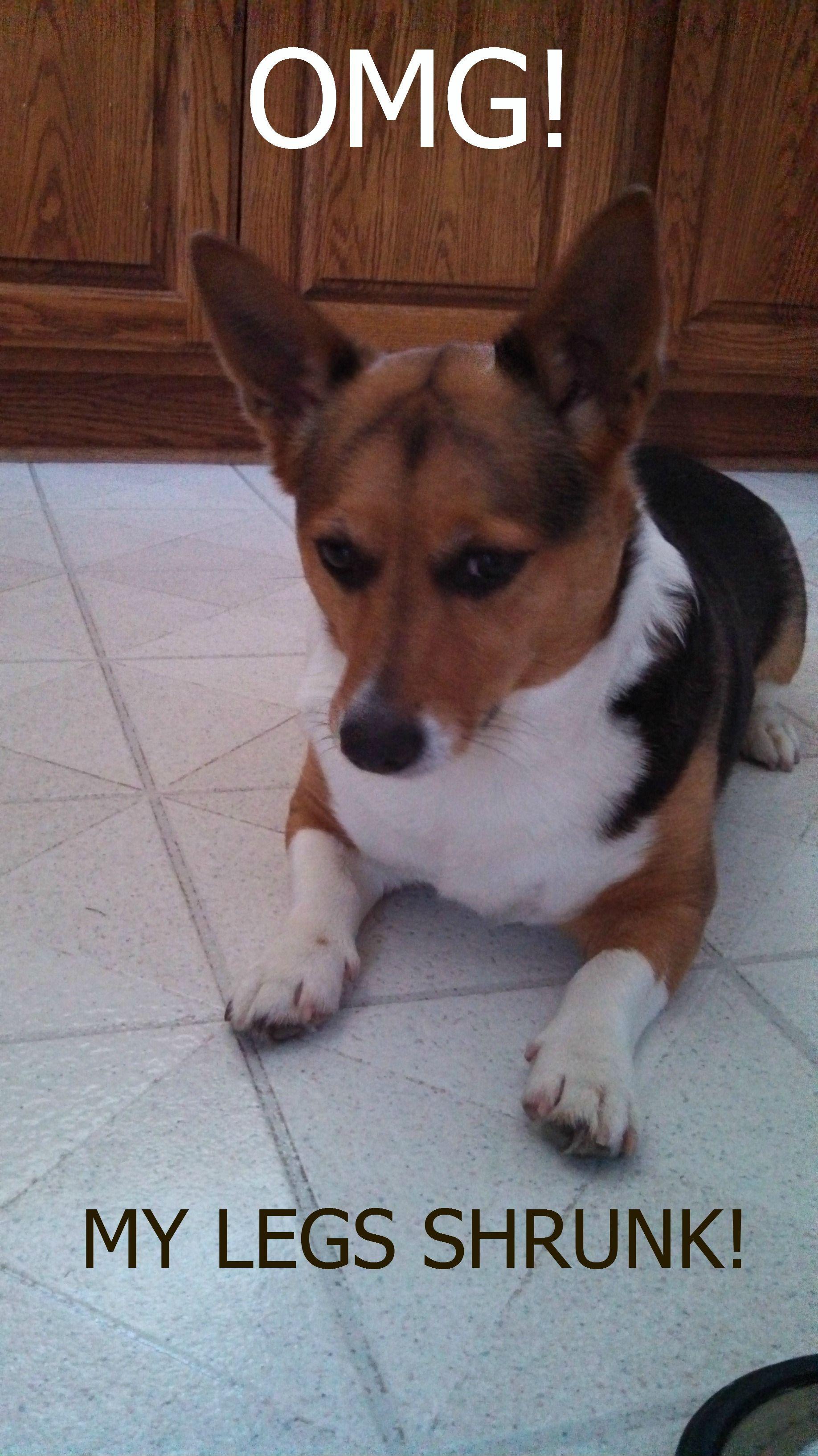 Emma Dawg Corgi Funny Hmlopez Emma Dawg Corgi Pets Dog Breeds