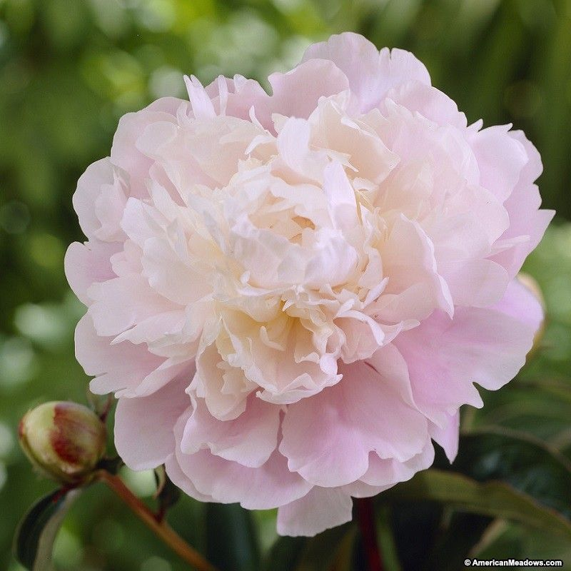 Peony Moon River is a favorite for bouquets with 8\' fragrant flowers ...