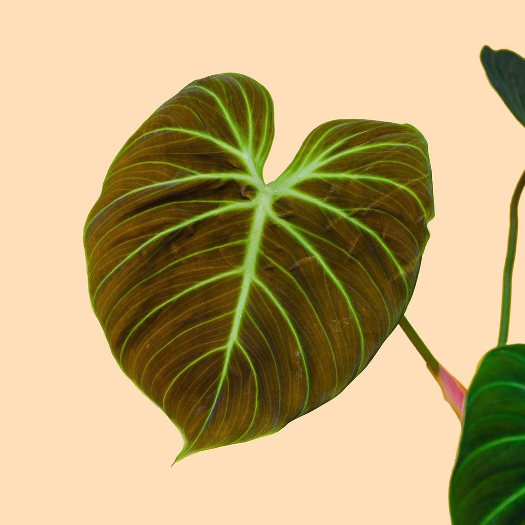 This Is The Newest Freshest Leaf On My Philodendron El Choco Red It S So Hard To Describe And Capture The Beautiful Color In 2020 Plant Leaves Philodendron Plants