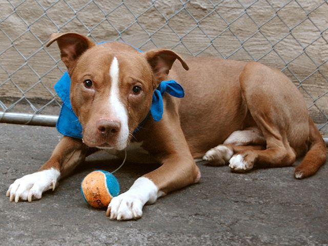 Booma Not Only Landed in NYC facility because his person died, He's now on NYC KILL LIST for Tomorrow, March 11'14 and NO SHARES!!!!!!  TO BE DESTROYED 3/11/14 Manhattan Center - ***My Animal ID # is A0992726.  I am a male brown and white pit bull. The shelter thinks I am about 8 YEARS old. https://www.facebook.com/photo.php?fbid=765771516769063&set=a.617938651552351.1073741868.152876678058553&type=3&permPage=1#!/media/set/?set=a.611290788883804.1073741851.152876678058553&type=1