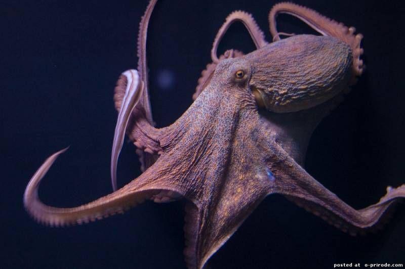 ТОП-10 и другие факты, которые вы не знали про осьминогов ...