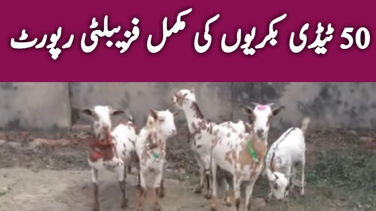 Taddy Goat Farming tady goat taddy goat farming in