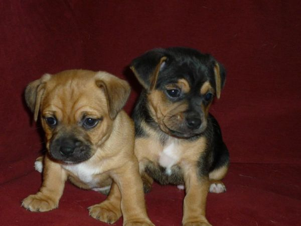 Pug And Beagle Puggle With Images Pug Mixed Breeds Pug Breed Cute Animals