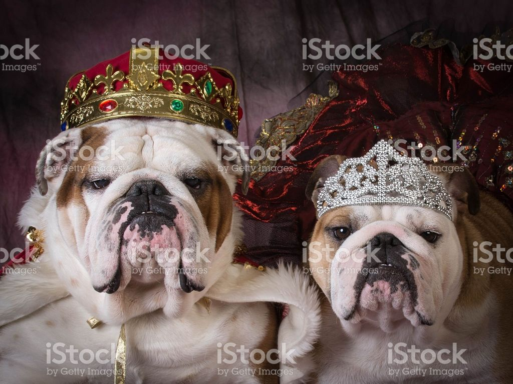 Royal Couple Two English Bulldogs Dressed Up Like A King And