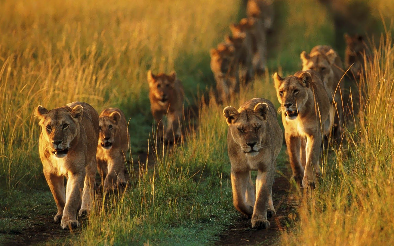 animal-wallpaper-with-a-group-of-lions (1600×1000) | beautiful