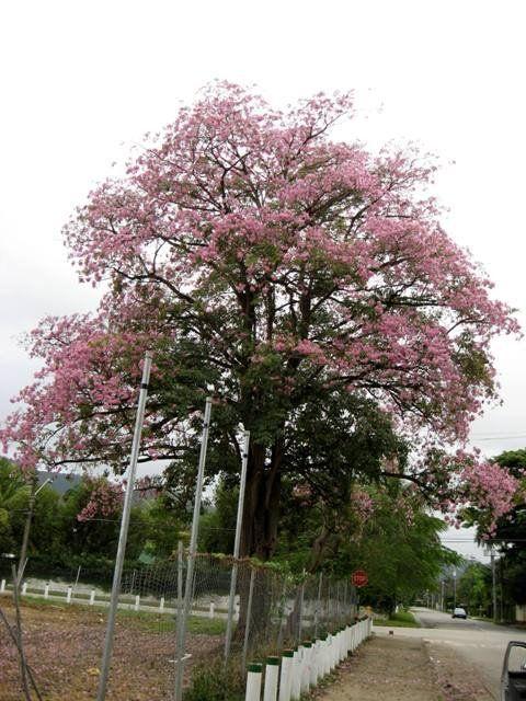 Pink Poui Tree