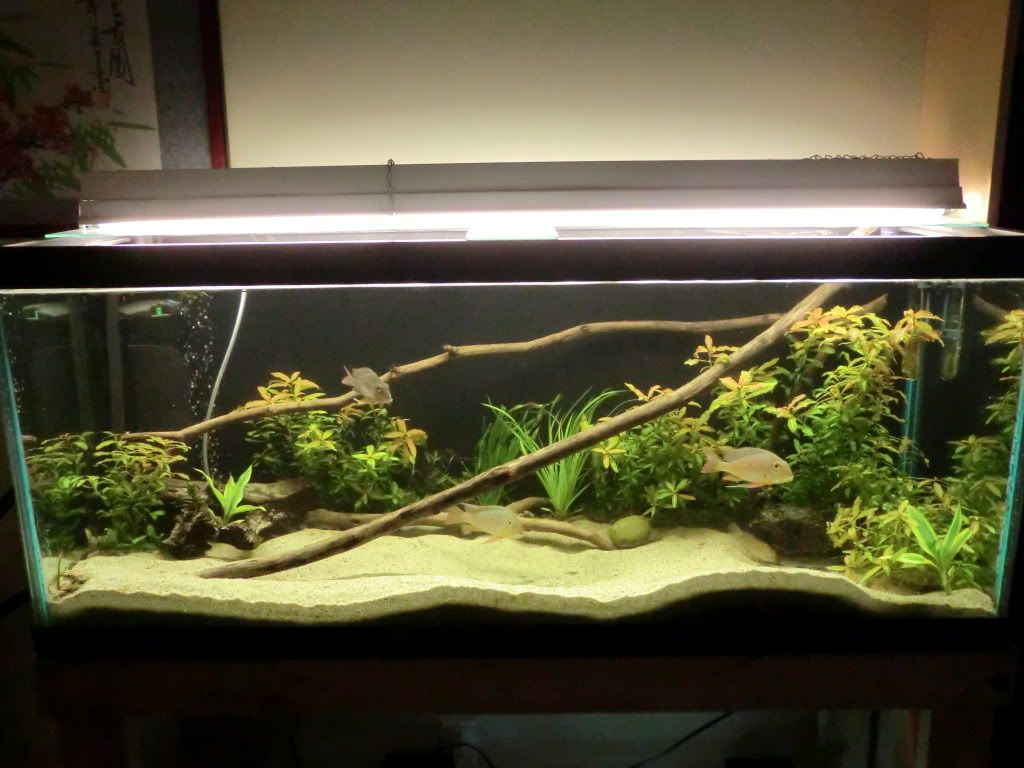 10 Gallon Tank Live Plants Good Betta Tank Sand Rocks Watch How The Betta Displays Beautiful Swimming And Exploring Behavior T Betta Tank Betta Betta Fish