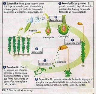 Esquemas Explicativos De La Reproducción En Plantas Reproduccion De Plantas Musgos Y Helechos Plantas