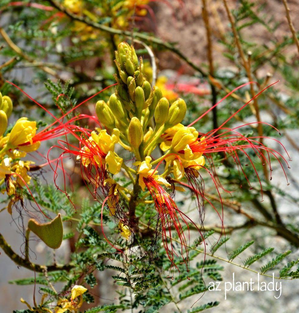 The Beautiful Flower Of Yellow Bird Of Paradise Caesalpinia