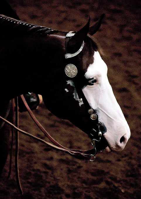 .Equine American Paint Horse western quarter paint horse paint pinto horse Gypsy Vanner Indian pony solid tovero overo frame sabino