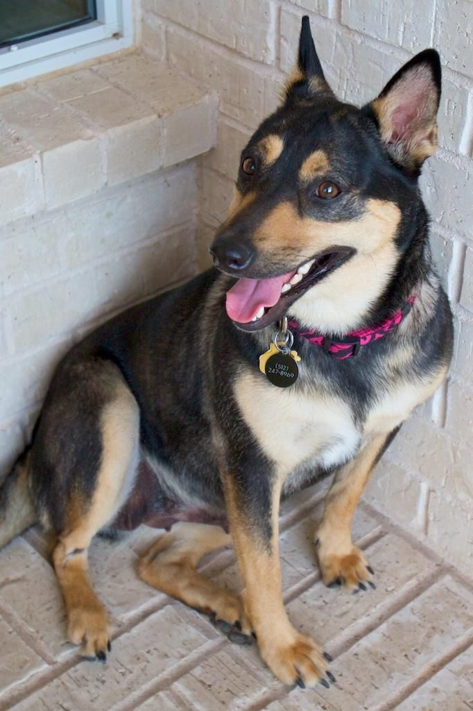 Adopt Chloe On Aussie Cattle Dog German Shepherd Dogs Dogs