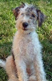 Wire Haired Fox terrier Cutie