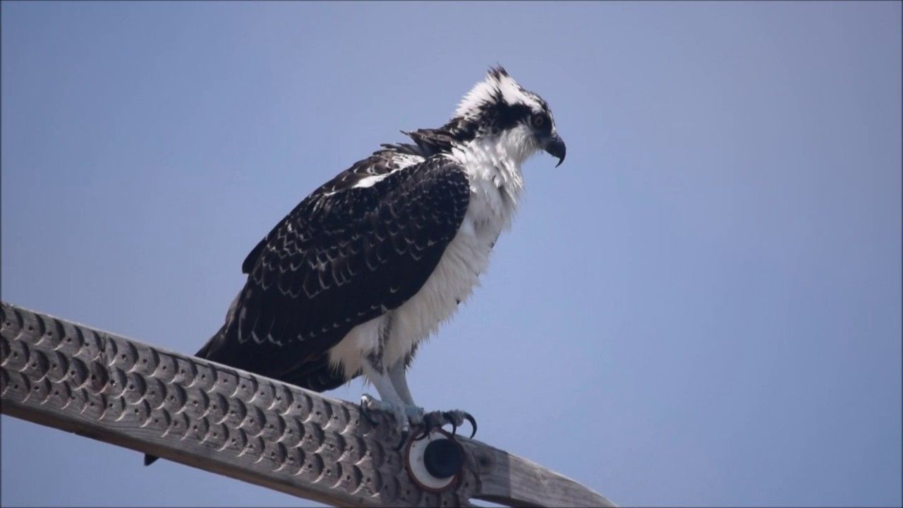 Delphinus School of Natural History:: Osprey@MB