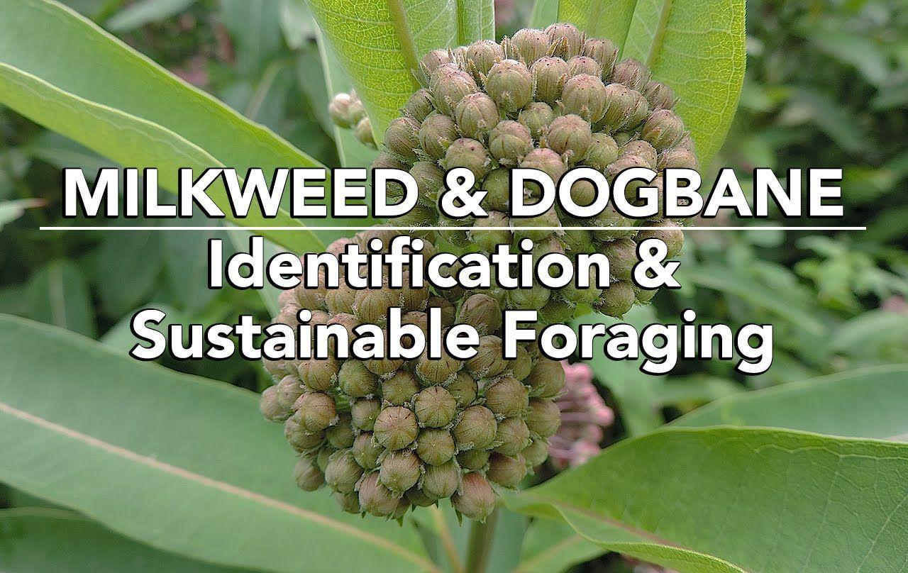 Milkweed Dogbane Identification Sustainable Foraging With