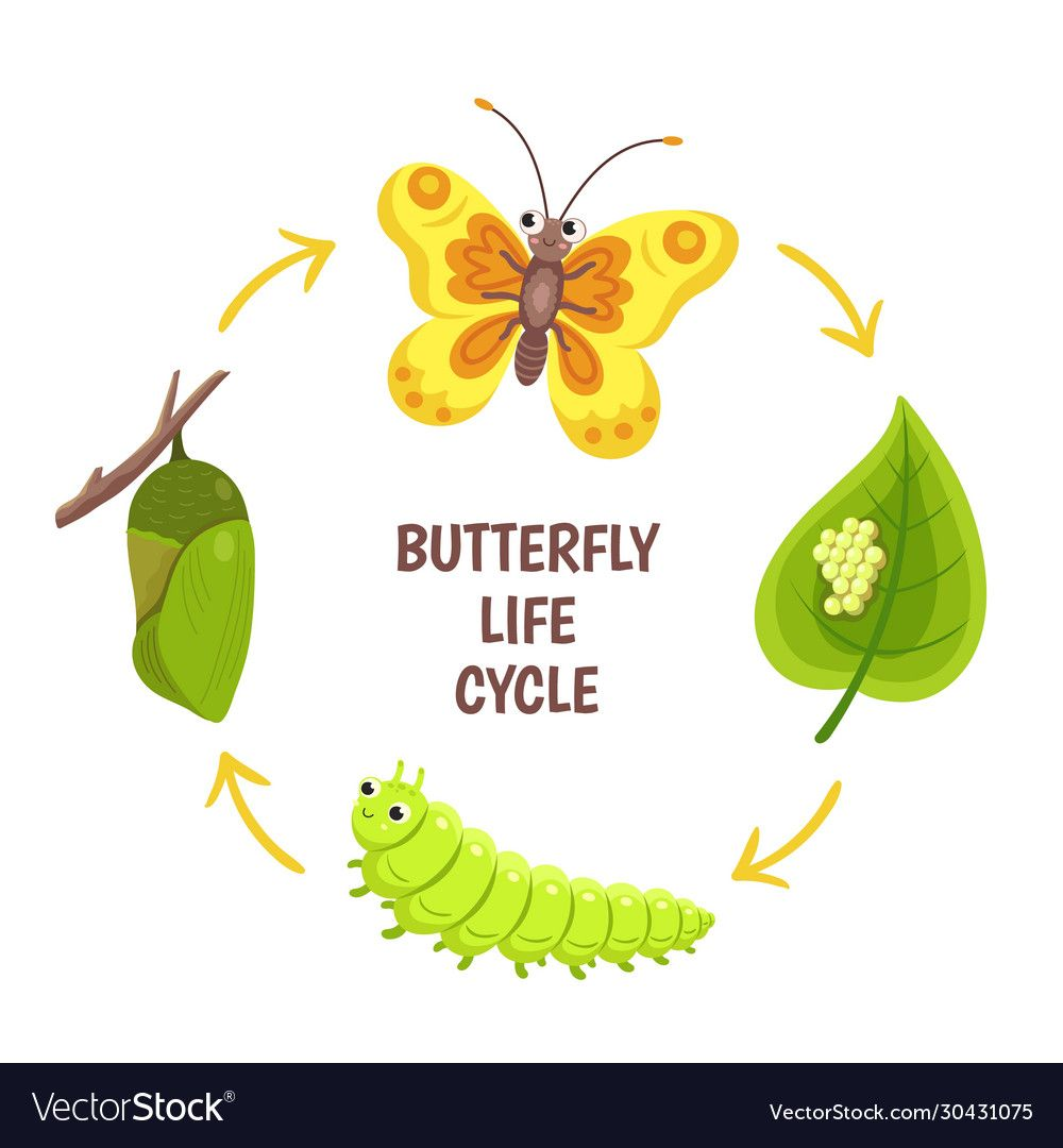 Butterfly Life Cycle Insect Emergence Transformation Or Metamorphosis Caterpillar Development Stages Bio Butterfly Life Cycle Life Cycles Insect Life Cycle [ 1080 x 1000 Pixel ]