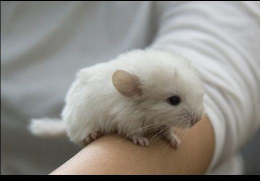 White Fluffy Baby Chinchilla Animales Bebe Bonitos Animales