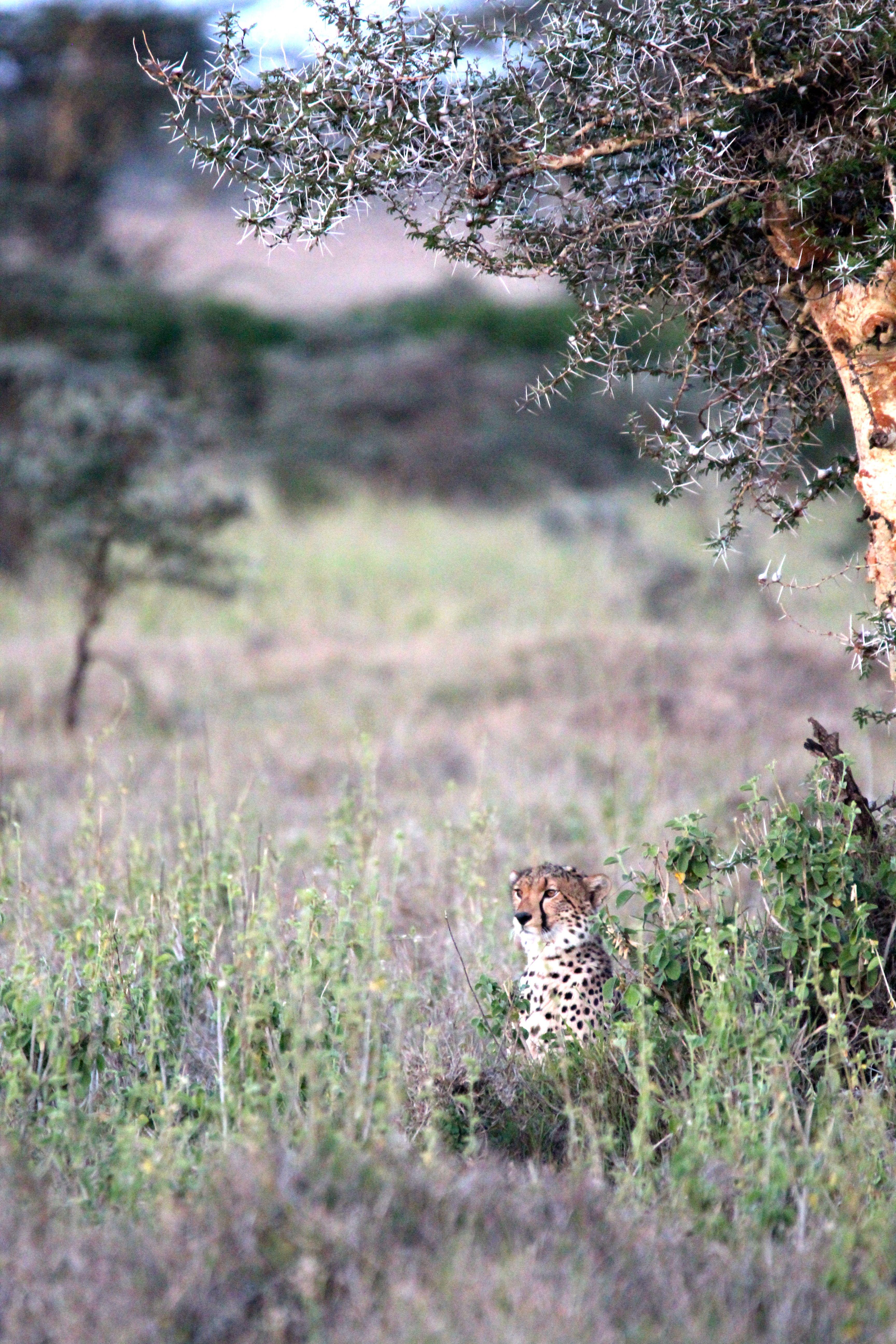 Cheetah. Cheetah, Wildlife sanctuary, Big cats