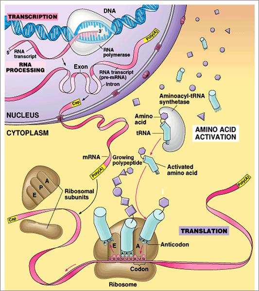 Biology Transcription And Translation School Stuff Pinterest