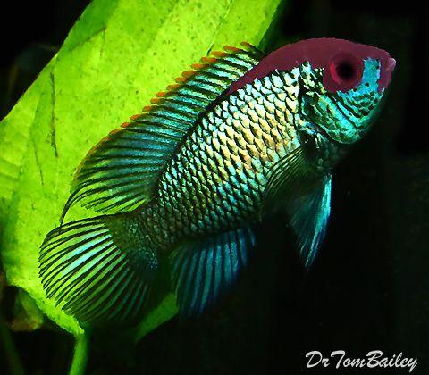 Aquariumfish Net Aquarium Fish Rare Fish Tropical Fish
