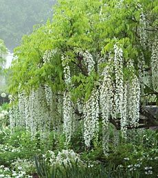 White flower farm wisteria vines trained as single stem trees white flower farm wisteria vines trained as single stem trees white flower farm mightylinksfo