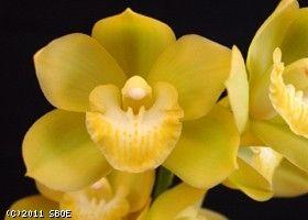 Cymbidium Kusuda Fantasy Carioca At Santa Barbara Orchid Estate Flower Spike Fragrant Flowers Orchids