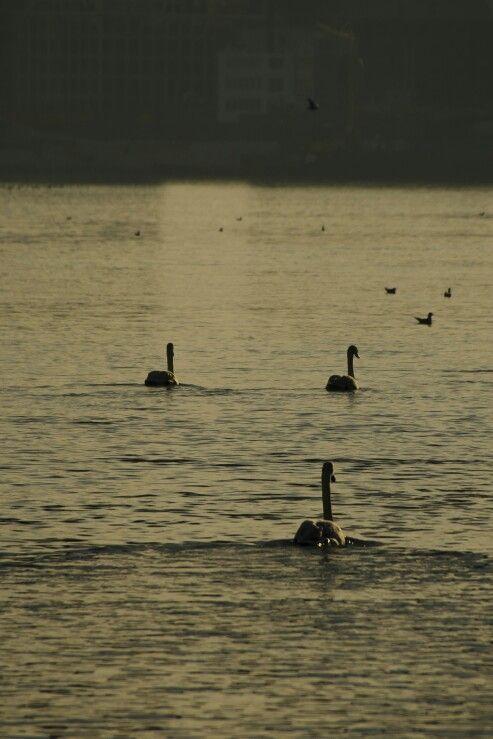 Schwäne im Sonnenuntergang swan