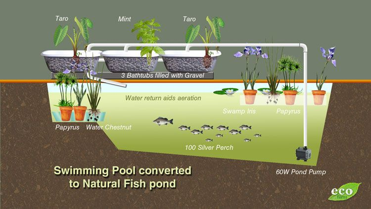 Converting a swimming pool to grow fish with plant for Aquaponics pond design