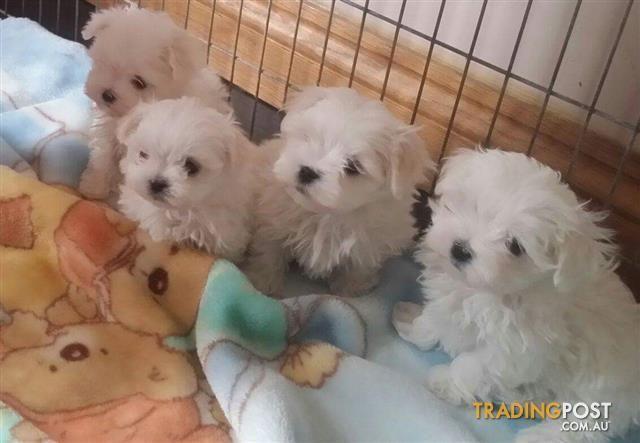 63+ Bichon Shih Tzu Puppies For Sale Melbourne in 2020