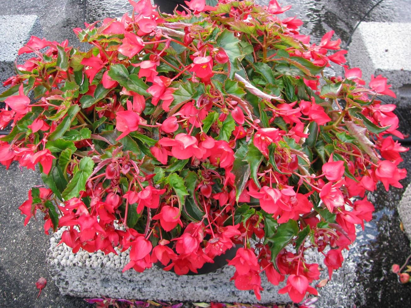 eutopia begonia pendula m rtha red seems to be another tuberous hybrid portrait plants. Black Bedroom Furniture Sets. Home Design Ideas