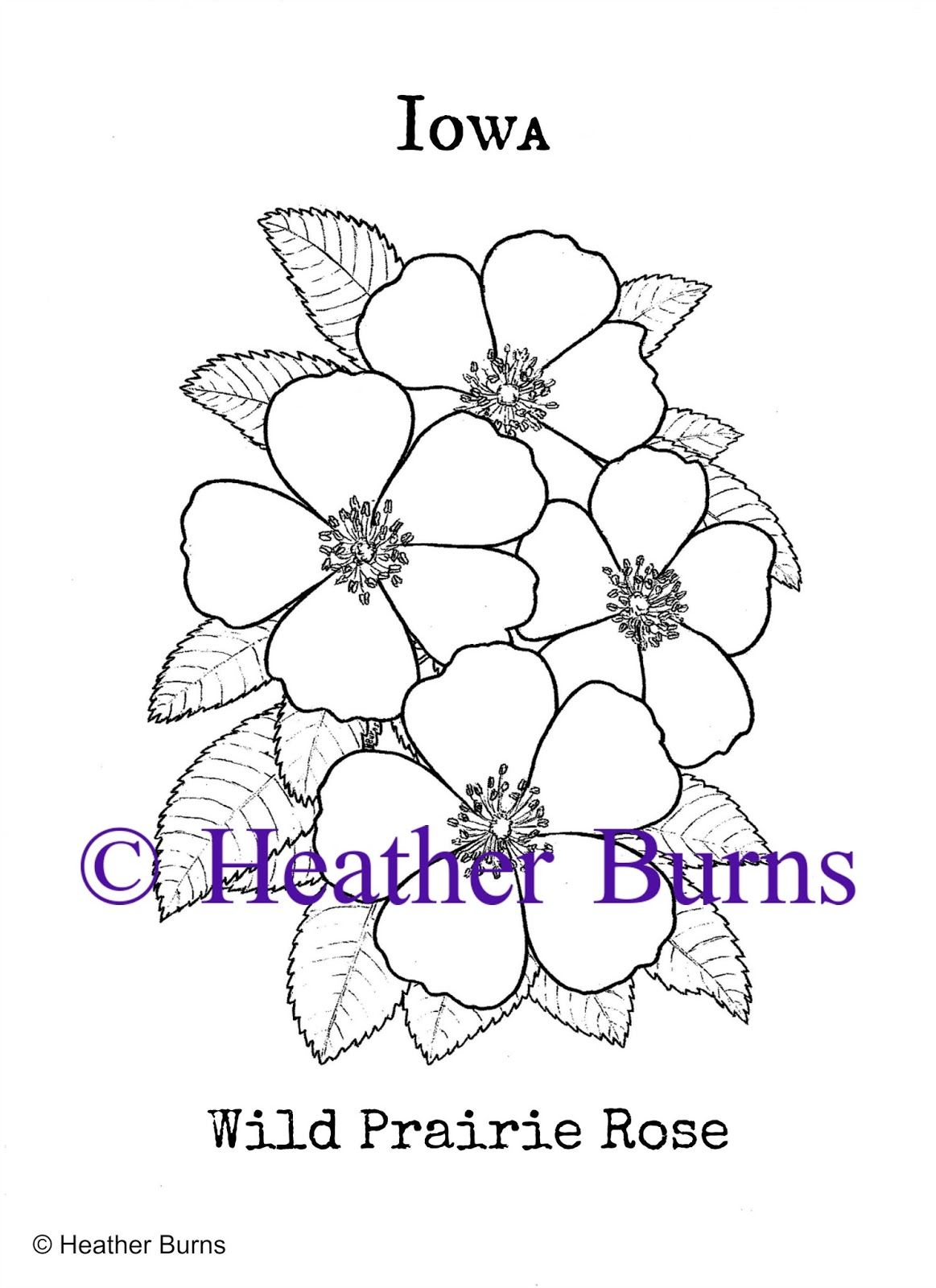 Iowa State Flower Wild Prairie Rose Rose Coloring Pages