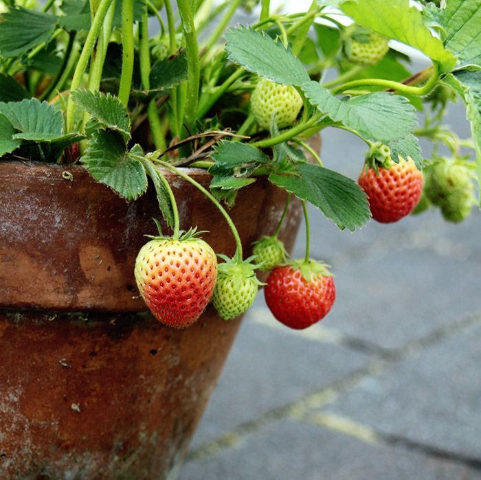 Strawberries In Containers Strawberries In Containers Strawberry Plants Organic Vegetable Garden