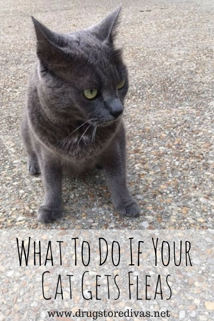 Ad Did You Cat Start Itching If It Has Fleas Definitely Read This Post From Www Drugstoredivas Net To Find Out What To Do If Your C Cat Has Fleas Cats Fleas