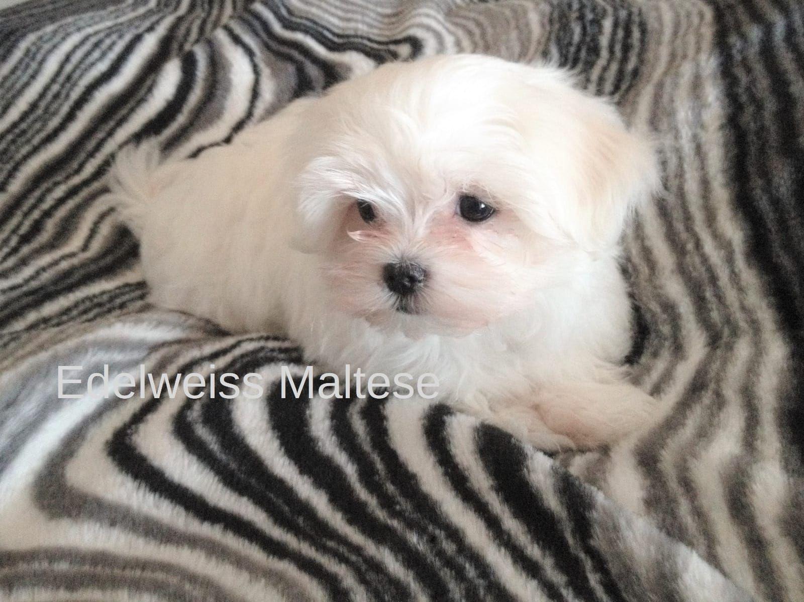 Bildschone Mini Malteser Bad Aibling Malteser Deine Tierwelt De Malteserwelpen Kleine Hunde Haustiere