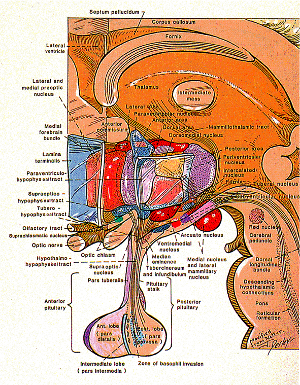 The Hypothalamus   Medical Images   Pinterest   Anatomy, Medical and ...