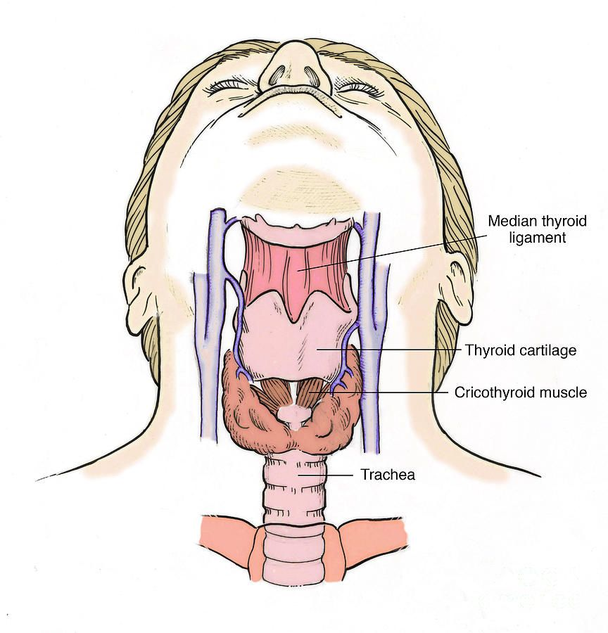 Anatomy Of The Human Throat Frontal View Harvard Wm