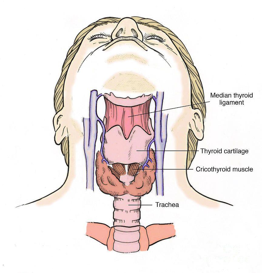 throat anatomy in anatomy the throat | www.harvard-wm, Human Body