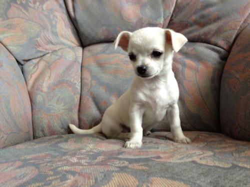 Beautiful Male White Chihuahua Beautiful Male White In Worthing