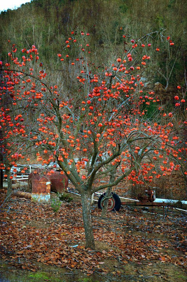 Persimmons grow on a big tree. Edible garden, Fruit
