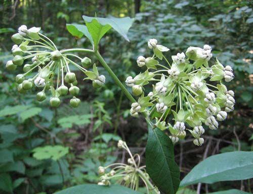 Asclepias exaltata (Tall Milkweed) -- Apocynaceae | Blue