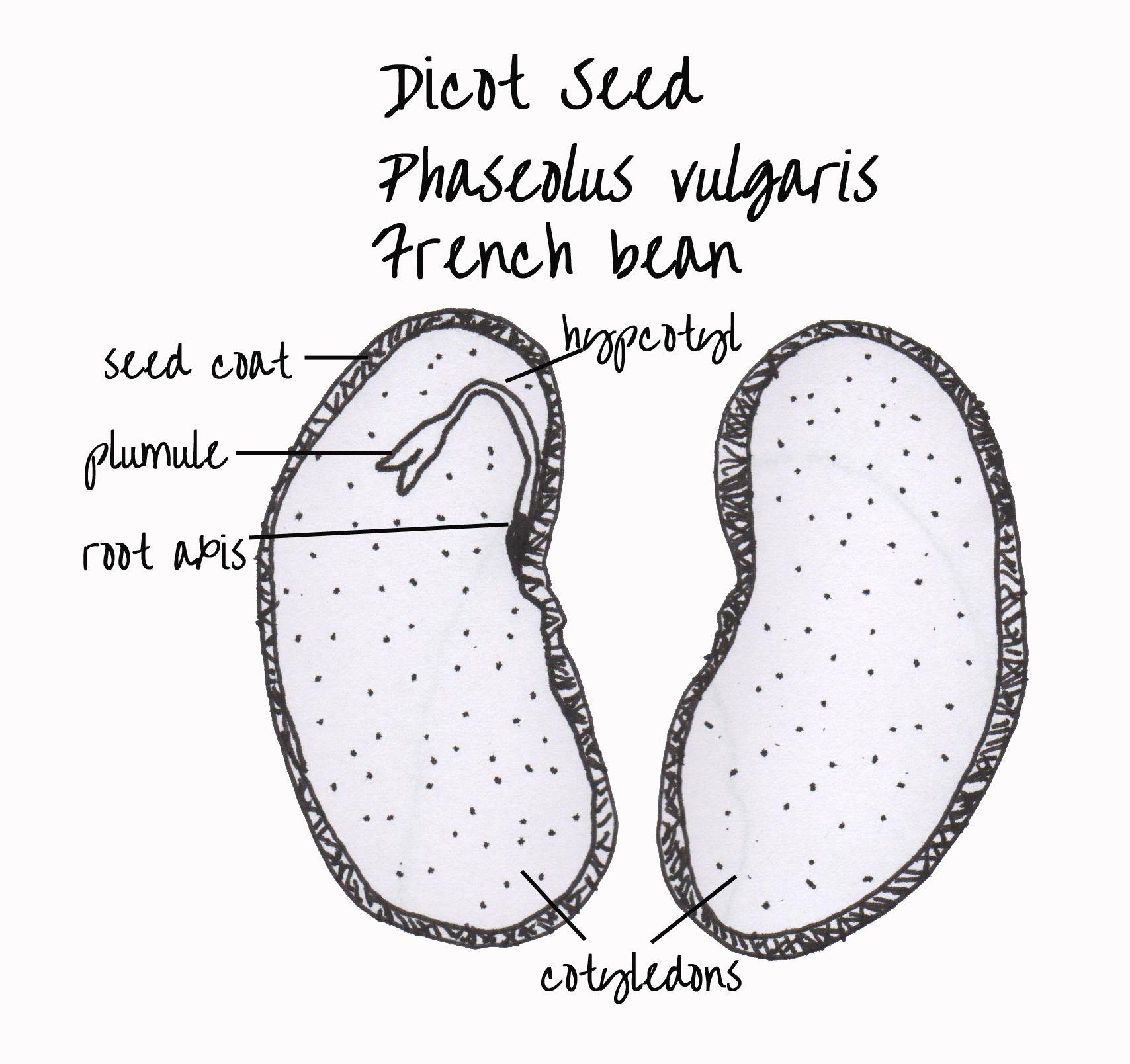 Bean Seed Diagram Worksheet