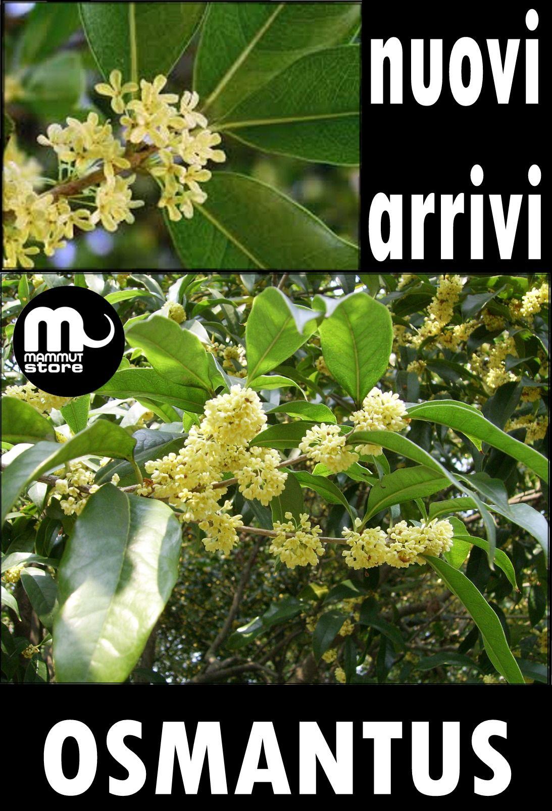 osmantus, pianta sempreverde, fioritura duratura