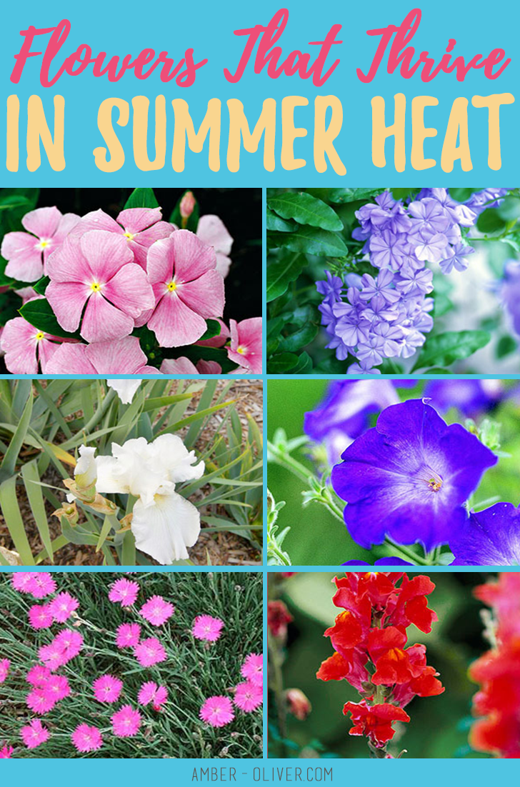 Annual Flowers For Full Sun And Heat In 2020 Annual Flowers Full Sun Flowers Organic Vegetable Seeds
