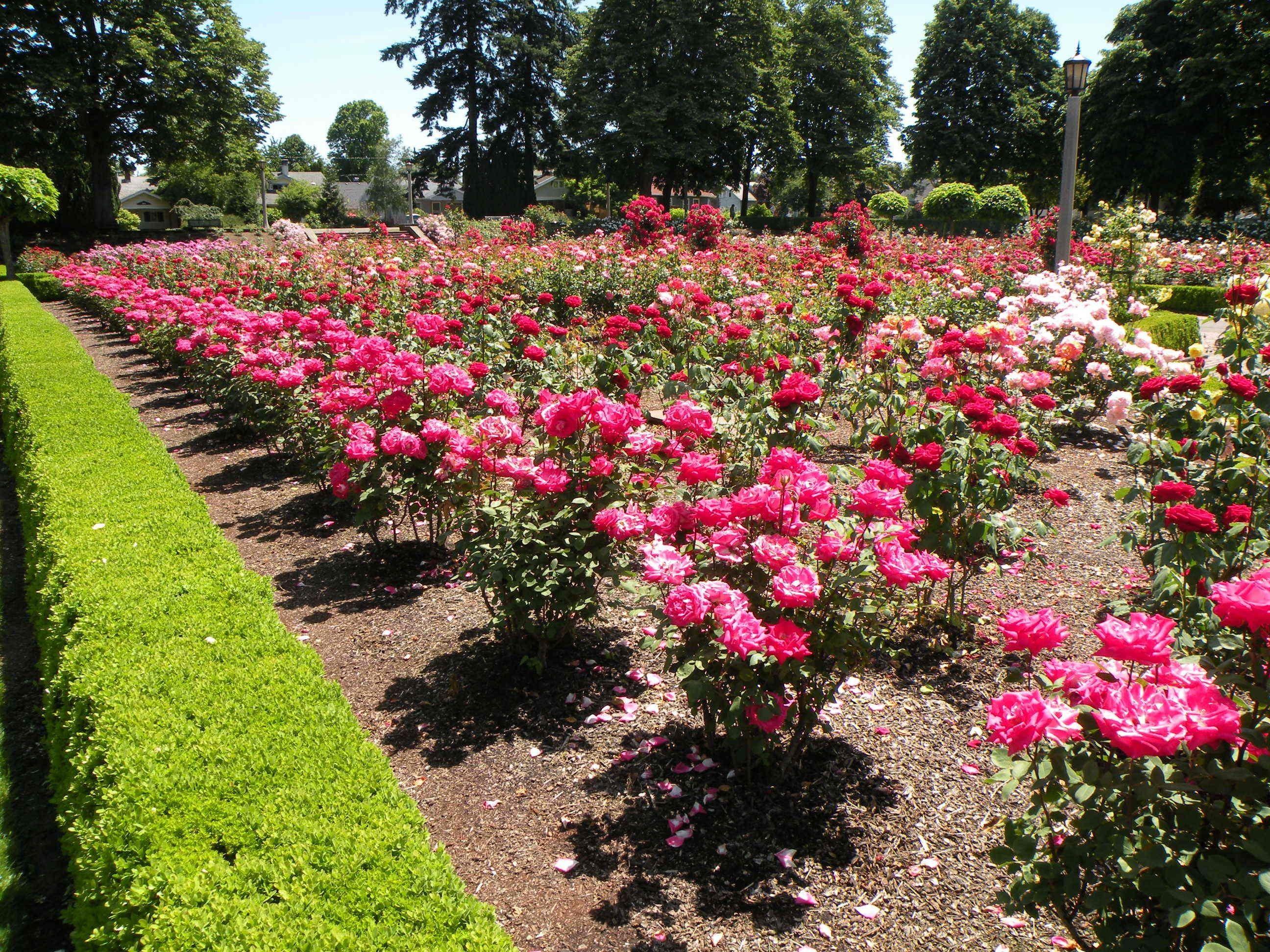 Beautiful Rose Garden Wallpaper rose garden wallpaper backgrounds hd - rose garden category