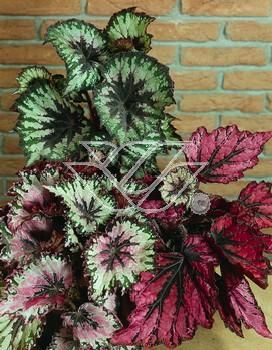 Begonia Krolewska Begonia Plants Seeds