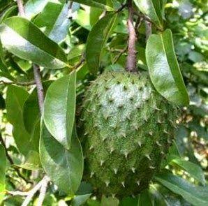Khasiat Daun Sirsak Bagi Kesehatan Small Fruit Trees Fruit Trees Fruit